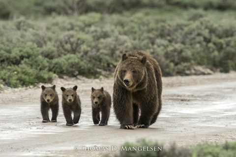 399 and her cubs © Thomas D. Mangelsen