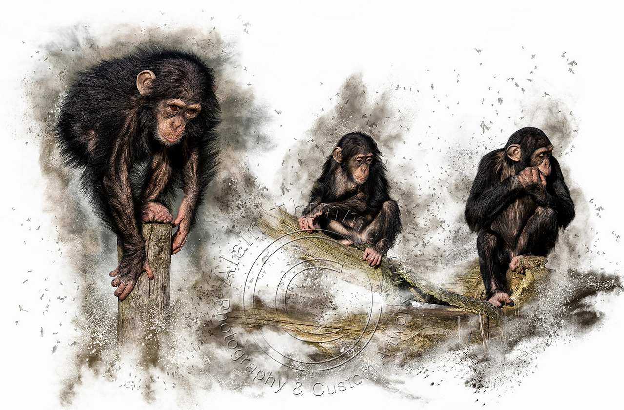 3 chimpanzees
