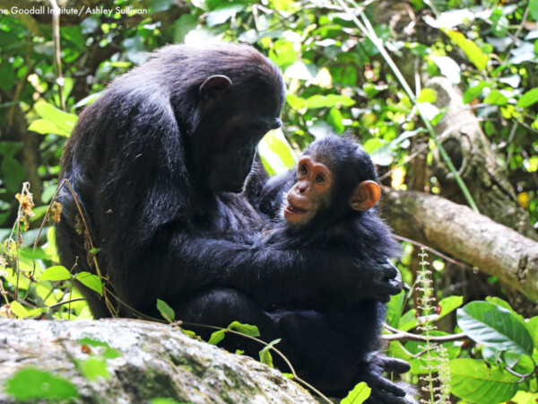 mother chimpanzee and child