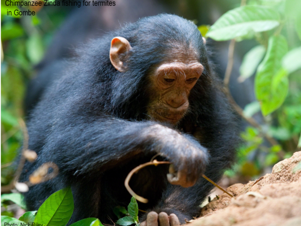 Chimp Zinda fishing for termites in Gombe