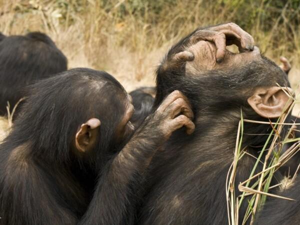 vlooiende chimpansees